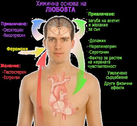 Химическата основа на любовта, обяснена върху модела на мъж въз основа на феромоните и сексуалните миризми.